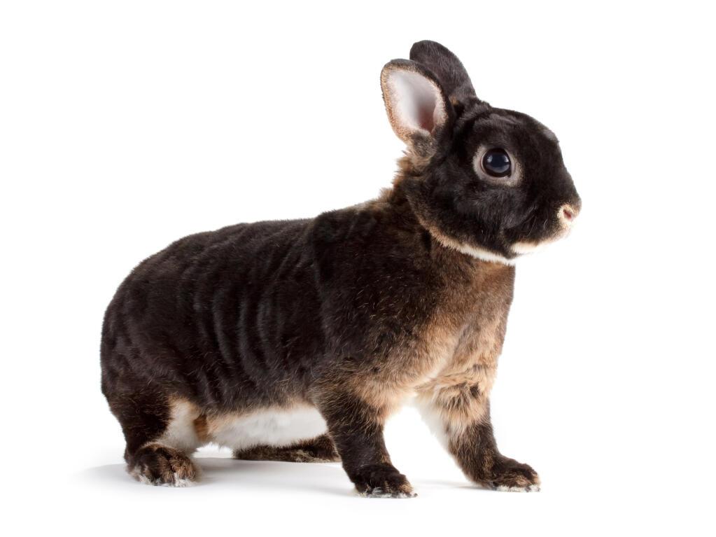 Giant Chinchilla Rabbit Rex For Sale | Rabbits...