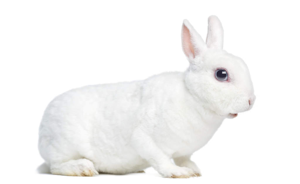 Mini Rex For Sale | Rabbits | Breed Information | Omlet