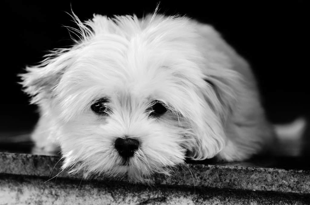 Small Tibetan Dog