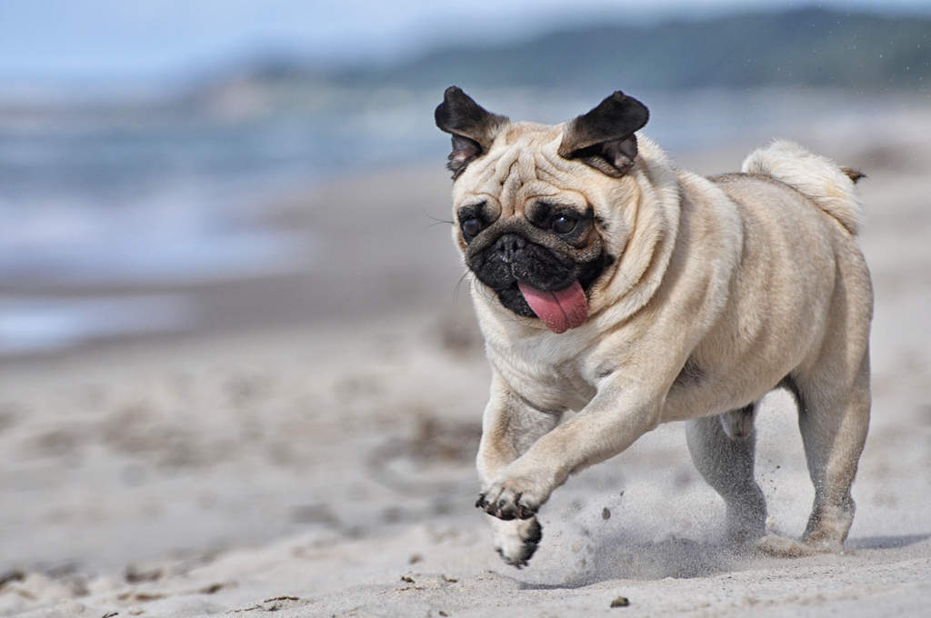 Pug | Dogs | Breed Information | Omlet