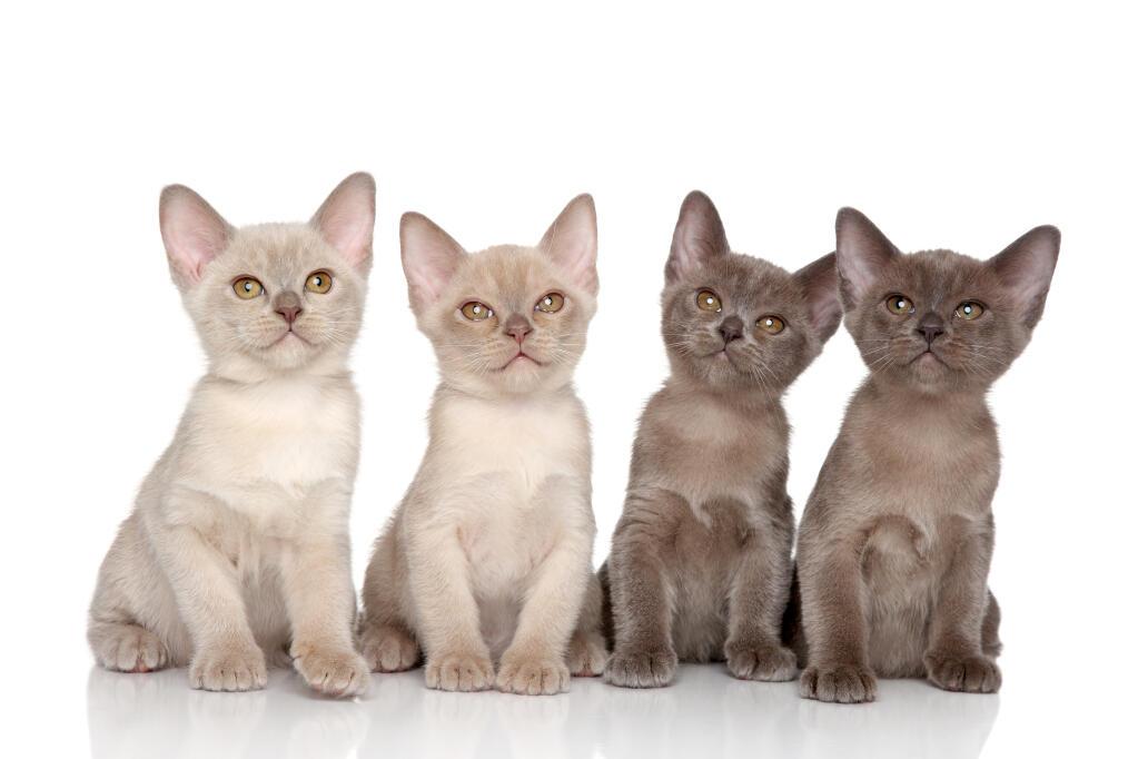 Burmese Cats Breed Information Omlet
