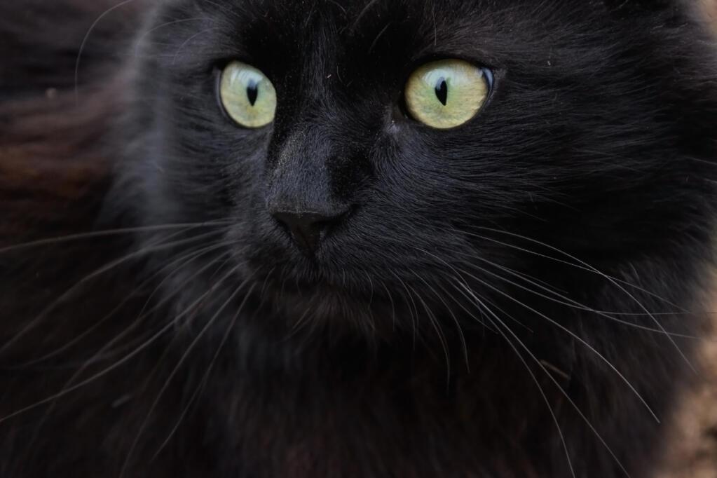 Tiffanie Cats Breed Information Omlet