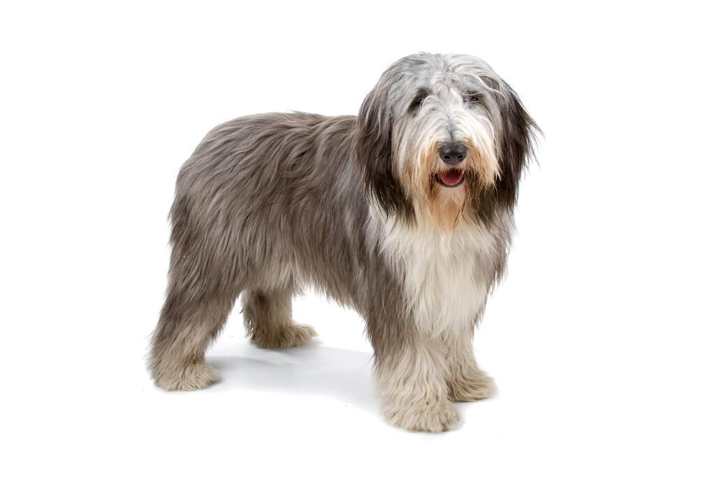 Shaggy Dog Breed Name