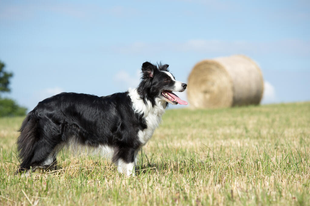 Border Collie | Dogs |...