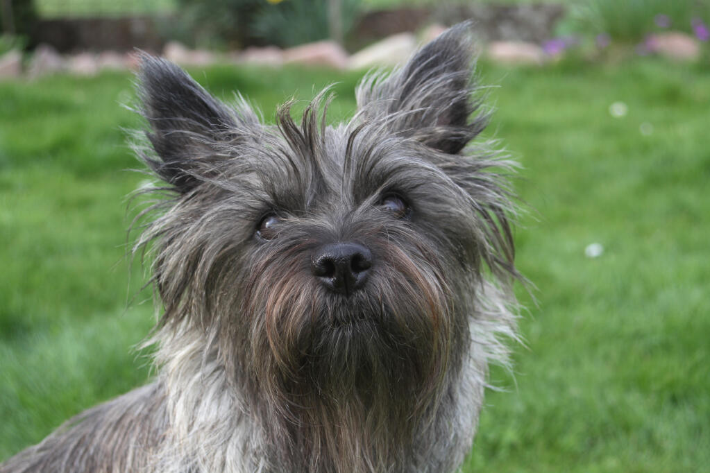 cairn terrier dogs breed information omlet