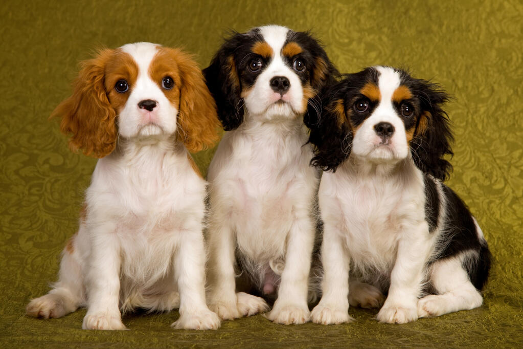 Cavalier king charles spaniel dogs breed information omlet history cavalier spaniels thecheapjerseys Image collections
