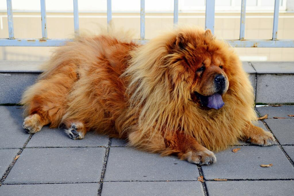 https://www.omlet.us/images/cache/1024/682/Dog-Chow_Chow-A_wonderful_adult_Chow_Chow_resting_on_the_pavement.jpg