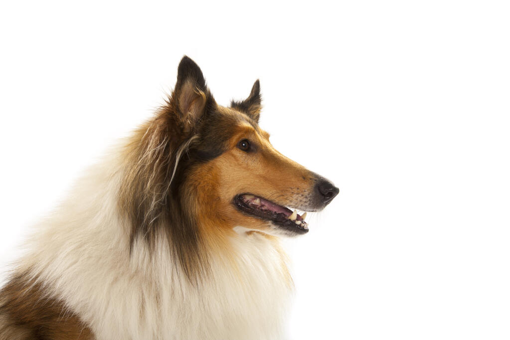 collie rough dogs breed information omlet