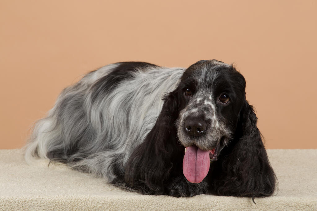 cocker spaniel origin cocker spaniel english dogs breed information omlet 5267