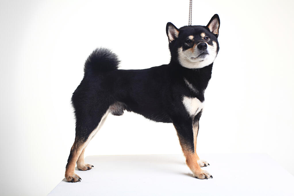 Japanese Shiba Inu Dogs Breed Information Omlet