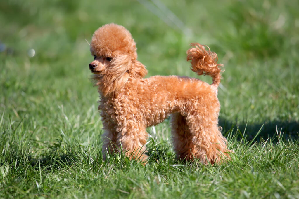 Miniature Toy Dog Breeds : Miniature poodle dogs breed information omlet