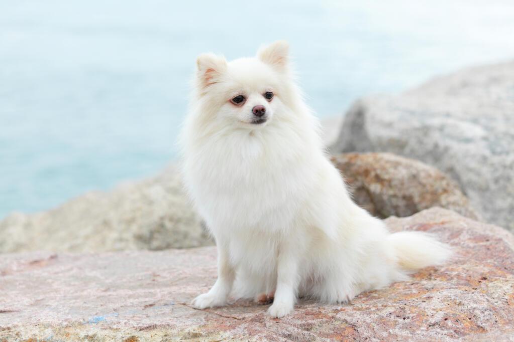 Pomeranian Dogs Breed Information Omlet