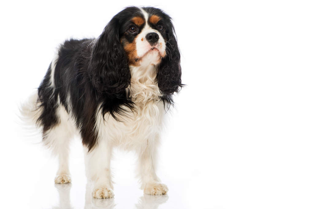 Cavalier king charles spaniel dogs breed information omlet history cavalier altavistaventures Image collections