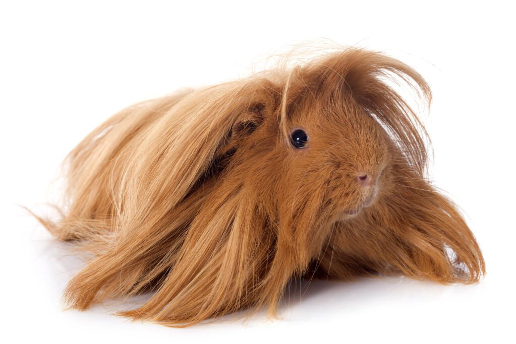 Peruvian For Sale Guinea Pigs Breed Information Omlet