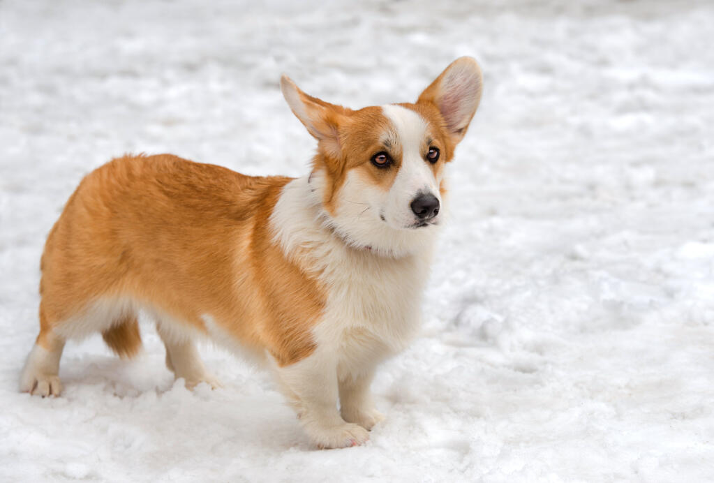 Cardigan Welsh Corgi Dogs Breed Information Omlet