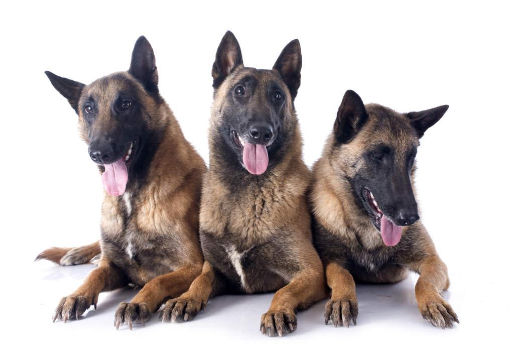 Belgian Shepherd Dog (Malinois)   Dogs   Breed Information ...