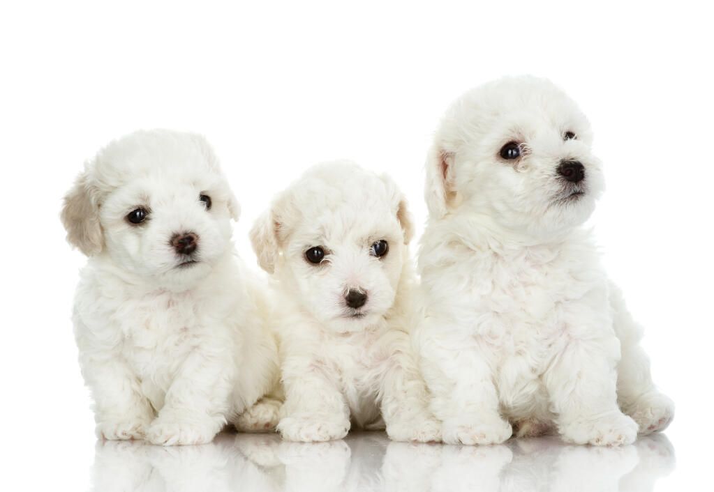 bichon frise dogs breed information omlet