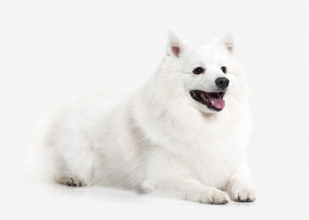 Japanese Spitz Dogs Breed Information Omlet