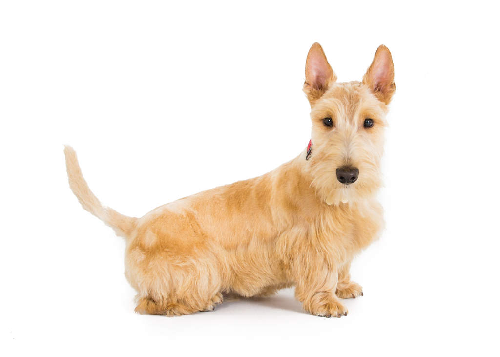 Scottish Terrier | Dogs | Breed Information | Omlet