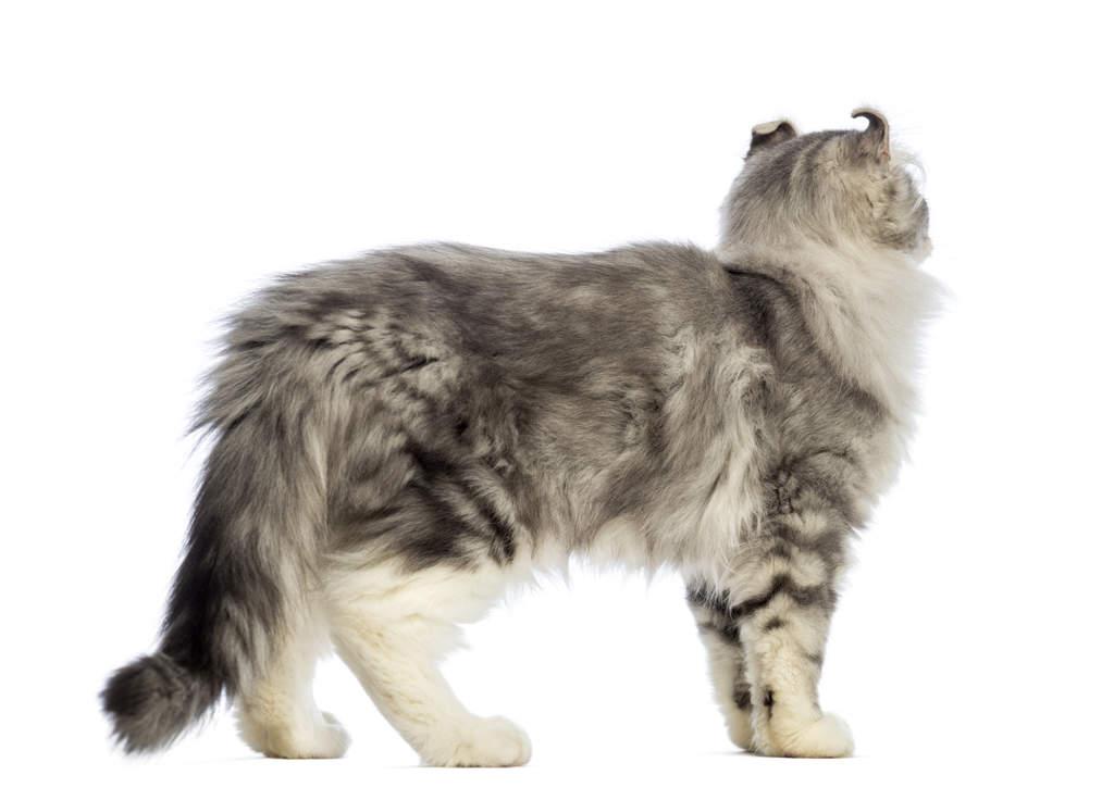 American Curl Longhair Cat