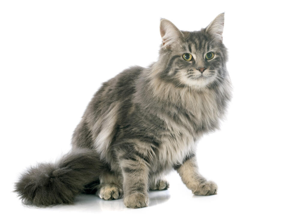 Turkish Angora | Cats | Breed Information | Omlet