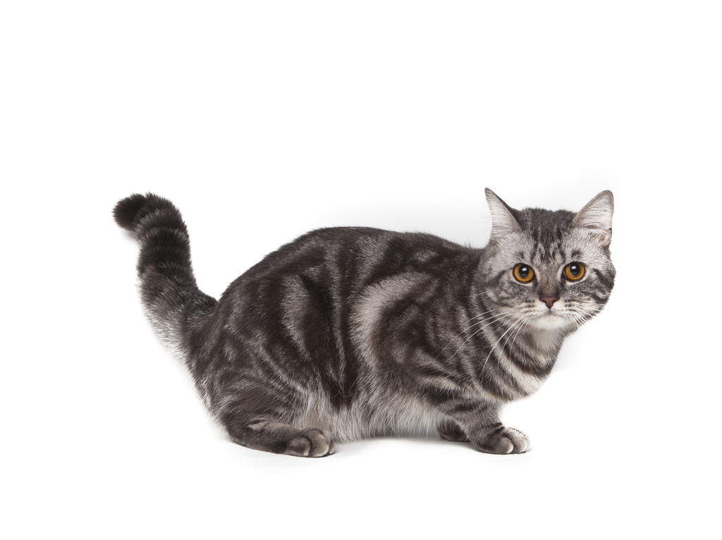 American Shorthair Cats Breed Information Omlet