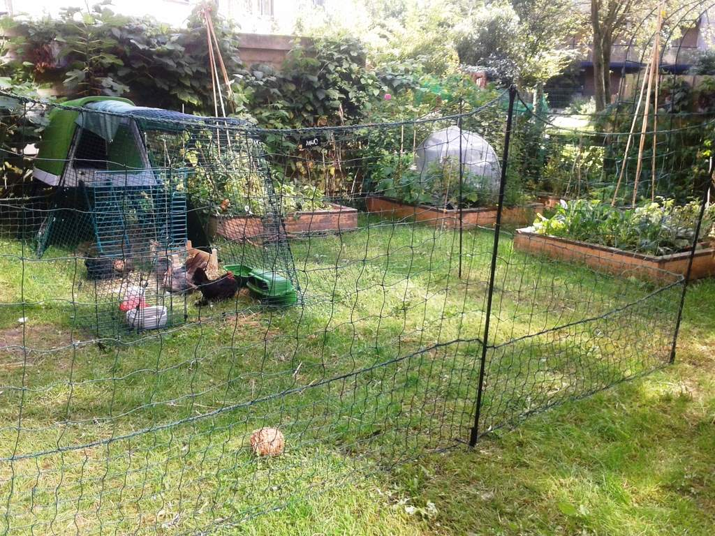 Serama Bantams in their Chicken Fencing