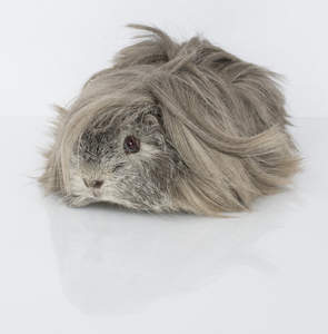 A beautiful little Peruvian Guinea Pig with long grey fur