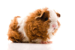 A Texel Guinea Pig with wonderful long wavey fur