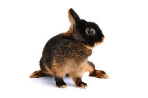 A beautiful young Tan rabbit with an incredible dark tan coat and short ears