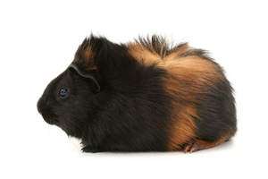 A beautiful little Silky Guinea Pig, also known as a Sheltie