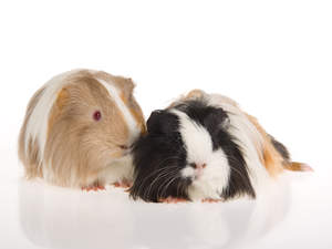 Two Silky Guinea Pigs with beautiful long soft fur