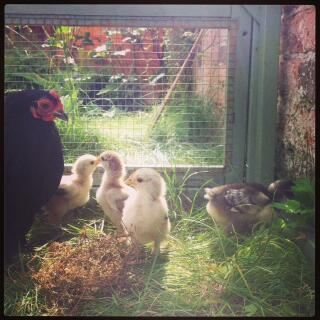 Black Pekin with Silver Partridge Pekin chicks