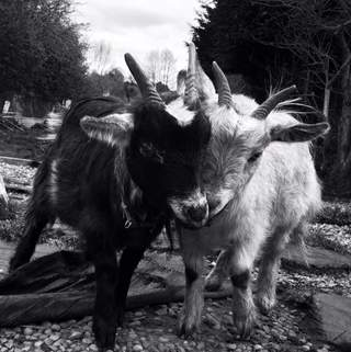Dave (left) & Pete, my Pygmy Goats