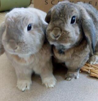 Peter and Pippa, mini lop brother and sister