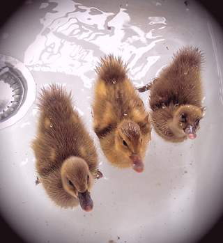 Three Indian runner ducklings 6 days old