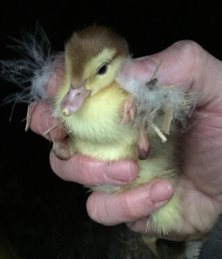 Day old Chocolate Magpie Muscovy duckling
