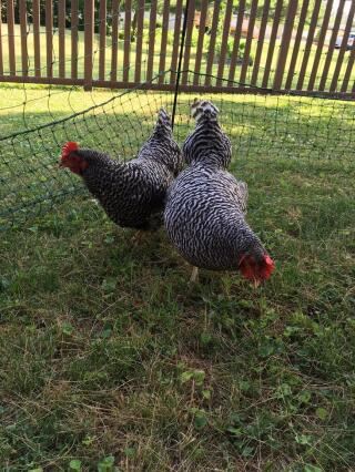 Two barred rocks, Georgia and Miss Pepper Pot, enjoying free range.