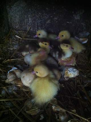 chocolate muscovy ducklings