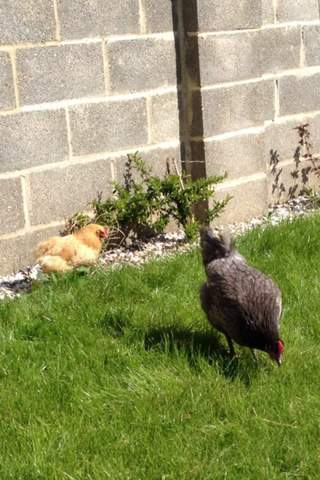 Here is out little pekin enjoying the sun