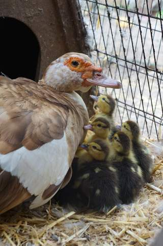 Chocolate pied muscovy with ducklings