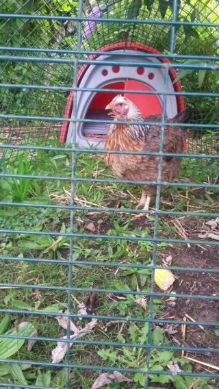 Can anyone identify this hen that I have recently acquired please?