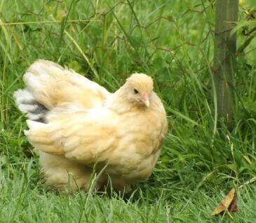 Lemon Pyle Brahma 10 week old chick