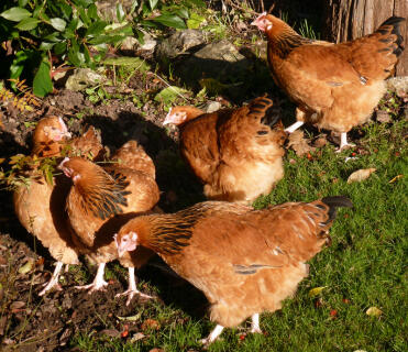 Buff Sussex hens at 20 weeks