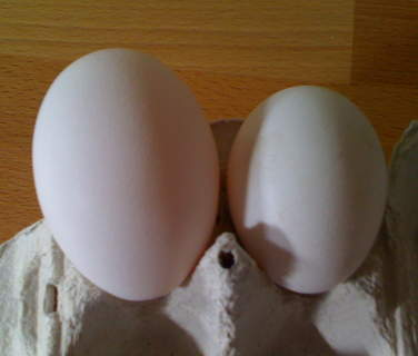 Star, a white star chicken, always lays big eggs but this one was extra big and weighed 125grams