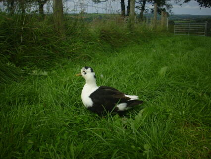 Black and White Magpie Call Duck