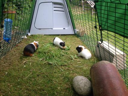 The guinea pigs loving their home