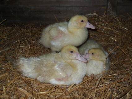 My 3 Muscovy babies at 6 weeks old - adorable aren't they?
