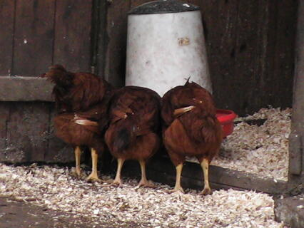 Rhode Island Red chicks