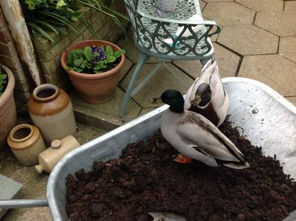 Pickle and Fred in the compost!